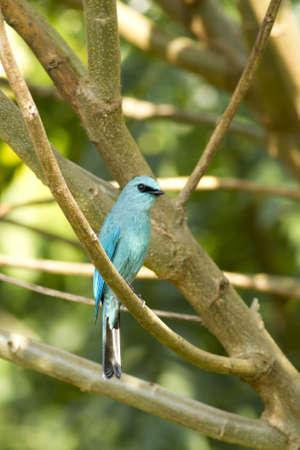 Verditer Flycatcher, Blue Flycatcher holding small branch of tree in forest Stock Photo - 17628404