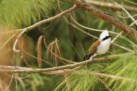laughingthrush: Laughingthrush, White-crested Laughingthrush hold on pine tree in forest
