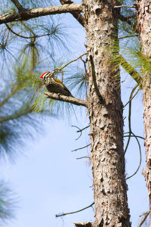 Greater Flameback, Red Greater Flameback hold on pine tree in forest Stock Photo - 17628408