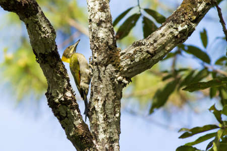 drumming: Greater Yellownape, greater yellownape hold on tree branch drumming