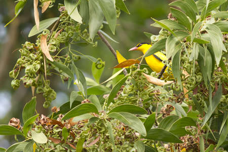 Black-naped Oriole, Oriole eating snack seed on forest tree Stock Photo - 17628402