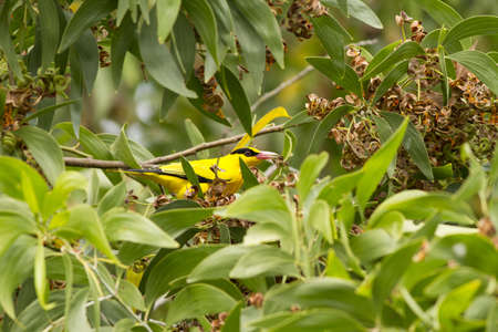 Black-naped Oriole, Oriole eating snack seed on forest tree Stock Photo - 17628479
