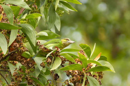 green eared Barbet, Barbet eating seed on a tree bush Stock Photo - 17628411