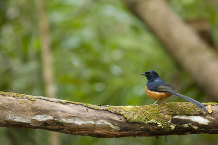 white-rumped shama, white-rumped shama on tree log Stock Photo - 17628482