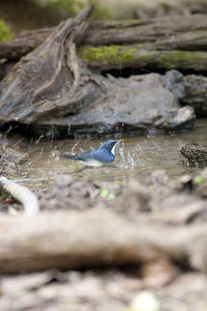 bird splash, blue robin splash around small pond Stock Photo - 17628473