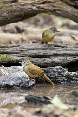 bulbuls, two Puff-throated Bulbuls splosh water around forest pond Stock Photo - 17628488