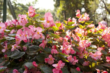 touched: pink flower garden, small pink flower bush touched sunlight in the flower garden