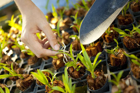 tree plantation, female hand use spade plant a young tree in farmation Stock Photo - 18284534