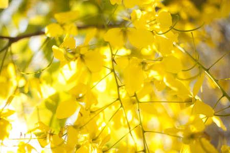 blur yellow flower, non focus golden shower flower sit for wallpaper photo