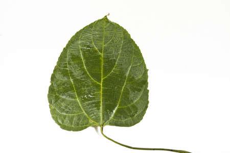 Sacha-Inchi leaf, green heart shape leaf called sacha-Inchi photo