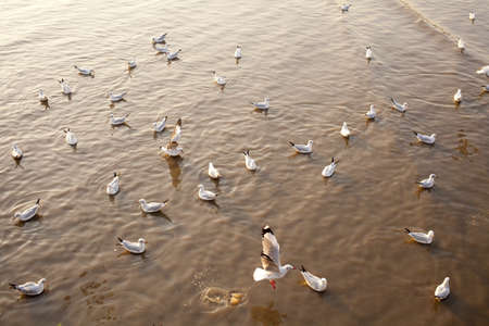 migrate: sea gulls, white migrate brown-headed gulls in the sea shore sunset Stock Photo