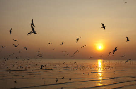 migrate: flying, white migrate brown-headed gulls with the sea shore sunset