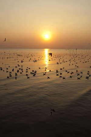 migrate: evening, white migrate brown-headed gulls with the sea shore sunset
