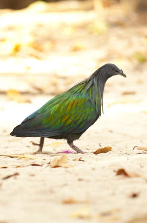 Nicobar pigeon, green rainbow Nicobar pigeon walking at Similan Island photo