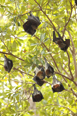 genitals: flying foxs, Lyle s flying fox hanging on tree branch at Similan Island