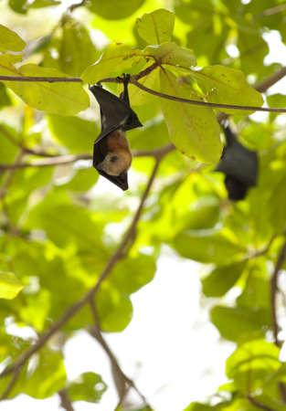 genitals: flying fox, Lyle s flying fox hanging on tree branch at Similan Island