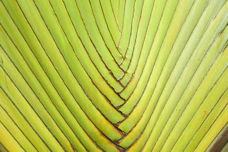banana tree texture, tropical kind of banana tree trunk stem arranging texture photo