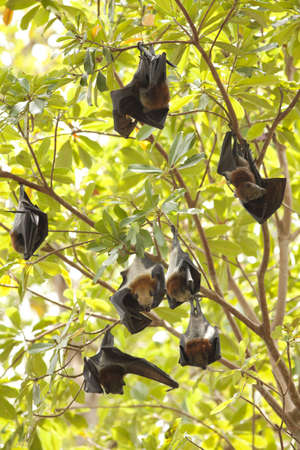 flying foxs, Lyle s flying fox hanging on tree branch at Similan Island photo