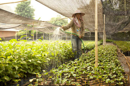 Sasha inchi plantation, farmer watering Sasha inchi tree in plantation Reklamní fotografie