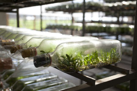 組織培養ボトルに蘭組織文化多くの行を配置