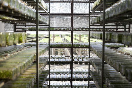 tissue culture, orchid tissue culture in a bottle many rows arranging photo