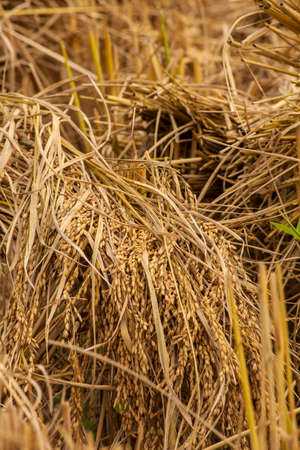 rice straw texture, close-up of rice straw field on the mountain agriculture in Chiengmai Thailand photo