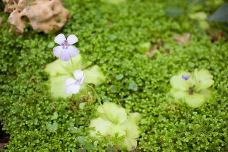 insectivorous plants: butterwort, purple pinguicula Polypompholyx butterwort family plant in garden Stock Photo
