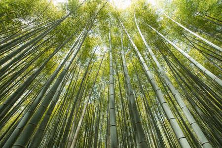 京都嵐山の竹林の森竹林 写真素材