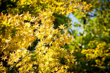 brighten: maple tree, yellow leaves brighten maple tree in the forest Stock Photo