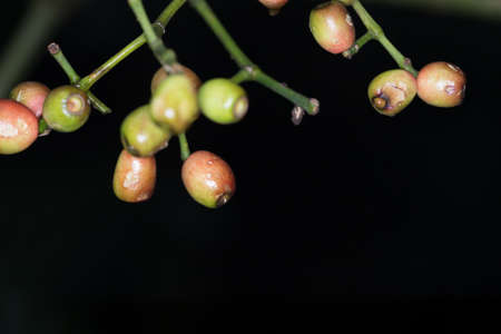 ripe plum, Thailand tropical forest fruit ripe plum in nature photo