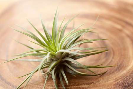 tillandsia, tillandsia ionantha sub species of tillandsia air plant on wood plate