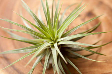 tillandsia: tillandsia, tillandsia ionantha sub species of tillandsia air plant on wood plate