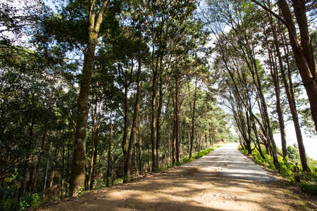 pine road, narrow road to the pine wood view in Thailand photo