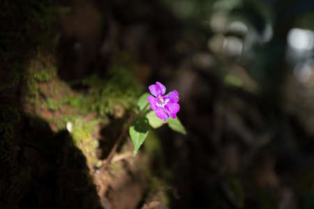 dampness: wildflower, tiny purple wild flower growing on dampness rock with sun light shade