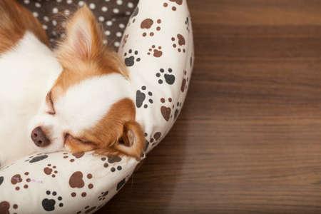 チワワ チワワ子犬マットレスで寝ています。