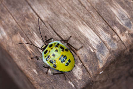 lady bug: lady bug, a yellow lady bug isolate on a wood texture in tropical forest, Thailand