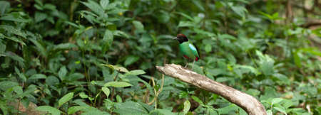 hooded: Hooded Pitta, Hooded Pitta walk looking for food in tropical forest, Thailand Stock Photo