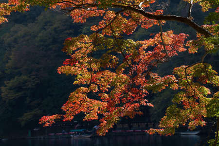 momiji: Red maple leafs full of all branch during autumn season