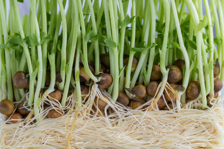 vietnamse: Sweet pea sprouts, close up to texture of young sweet pea sprouts Stock Photo