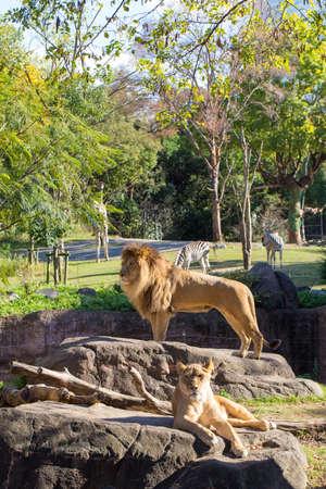 panthera leo: Panthera Leo, the couple of African lion male and female in Tennoji Zoo, Osaka, Japan
