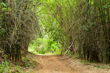 rough road: scary bamboo forest, rough brown walk way road into spine bamboo forest, Thailand Stock Photo