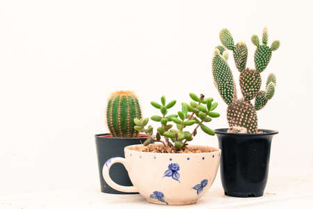 microdasys: cactus, group of various type cactus and succulent Euphorbia put together in house garden