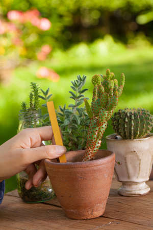 female hand put an orange name tag on Opuntia cactus pot in her green succulent garden