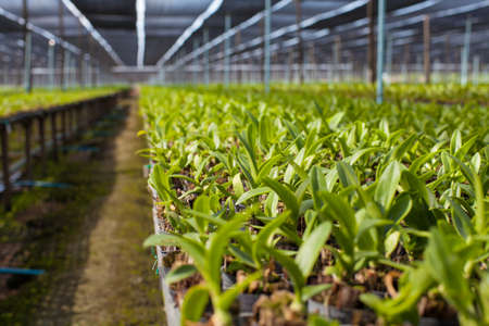 Row of orchid plant in orchid farm arranging neatly with sun diffuser, Thailand.