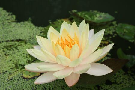 orange water: Beautiful lotus, Mangkala Ubol Water Lily Blooming orange water lilys in the pond