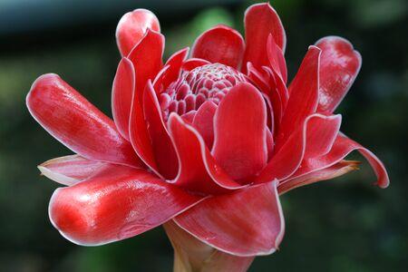 Zingiberaceae: Etlingera elatior in the garden, closeup torch ginger flower. Stock Photo