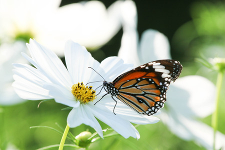 Butterfly with flower Cosmos.