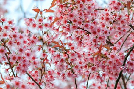 Cherry Blossom or sakura flowers at Khun Chang Kian, Chiangmai, Thailand. Stock Photo - 95732283