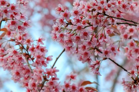 Cherry Blossom or sakura flowers at Khun Chang Kian, Chiangmai, Thailand.