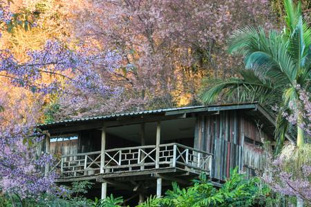 house of sakura Wild Himalayan Cherry at khun chang kian, Chiangmai Province, Thailand.